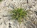 Poa annua (subsp. annua) sl9.jpg