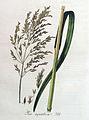 Poa aquatica — Flora Batava — Volume v4.jpg