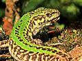 Podarcis siculus (Italian wall lizard), Nijmegen, the Netherlands - 3.jpg