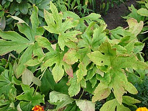 300px-Podophyllum_hexandrum_early_autumn.jpg
