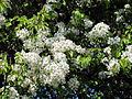 Poirier en fleurs.jpg