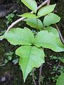 Poison Ivy (6074193937).jpg
