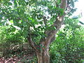 Poison Nut Tree - കാഞ്ഞിരം 01.JPG