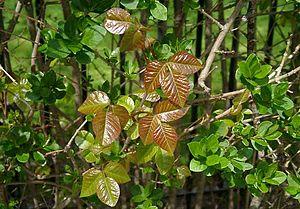 Poison ivy in privet hedge