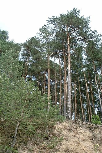 Tuchola Forest - Trees in the National Park