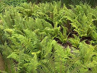 Cryptogam - Polystichum setiferum, a fern