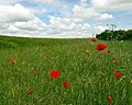 Poppies and Wheat - geograph.org.uk - 1913766.jpg