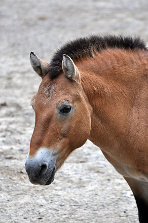 Przewalski's horse - Head shot, showing convex profile.