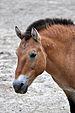 Portrait of Przewalski's Horse.jpg