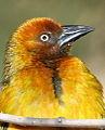 Portrait of a Cape Weaver, Ploceus capensis at Walter Sisulu National Botanical Garden (10121215606).jpg