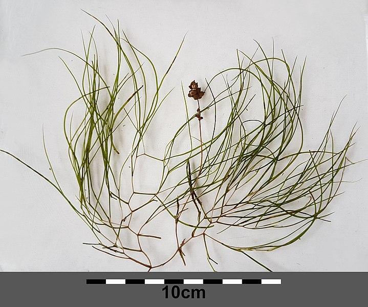 Brasca delle lagune (Potamogeton pectinatus)