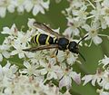 Potter wasp - Flickr - S. Rae.jpg