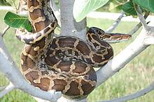 azgar snake