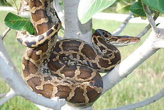 Python molurus - Near Nagarhole National Park