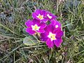 Primevères violettes.jpg