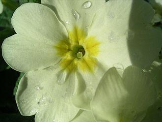 Primula vulgaris - Pin flower of primrose