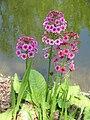 Primula japonica 02.jpg