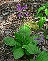Primula japonica 1.jpg