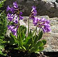 Primula latifolia 2 RF.jpg