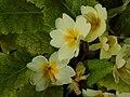 Primula vulgaris.002 - Wick (Gloucestershire).jpg