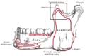 Processuscoronoideusmandibulae.PNG
