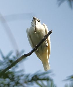 Procnias albus - White bellbird (male).JPG