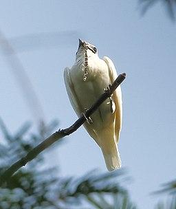 Campanero blanco Procnias albus