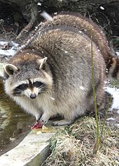 Raccoon wikipedia for Do raccoons eat fish