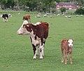 Proud Cow and Happy Calf, Brickbarns Farm - geograph.org.uk - 429075.jpg