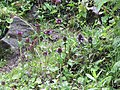 Prunella vulgaris var. vulgaris - Common Self-Heal on way from Gangria to Govindghat at Valley of Flowers National Park - during LGFC - VOF 2019 (1).jpg