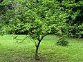 Prunus americana Syrets1.JPG