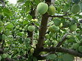 Prunus domestica E1.jpg