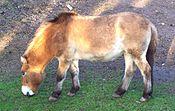 Przewalski's Horse, Dubbo Zoo, c 2005.jpg