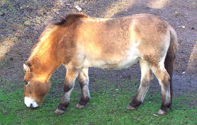 File:Przewalski's Horse, Dubbo Zoo, c 2005.jpg