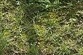 Pseudocrossidium hornschuchianum (a, 153251-482343) 8533.JPG