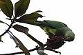 Psittacula krameri 03.jpg