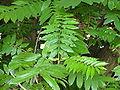 Pterocarya fraxinifolia, leaves.JPG