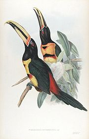 Pteroglossus erythropygius-Gould