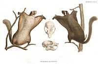 Pteromys leucogenys fauna japonica.jpg