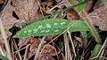 Pulmonaria affinis in Aveyron (36).jpg