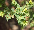 Pultenaea spinosa foliage.jpg