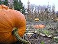 Pumpkins, Ulster American Folkpark - geograph.org.uk - 289294.jpg