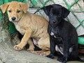 Puppies at Roadside - Ayutthaya - Thailand (34157821523).jpg