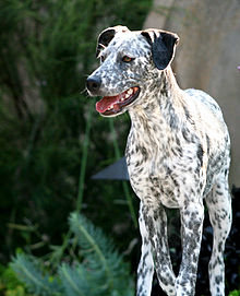 pointer – dalmatian cross