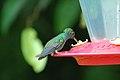 Purple-chested Hummingbird 2015-06-09 (1) (40281635472).jpg