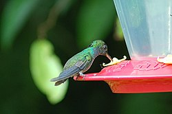 Purple-chested Hummingbird 2015-06-09 (1) (40281635472).jpg