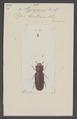 Pycnomerus - Print - Iconographia Zoologica - Special Collections University of Amsterdam - UBAINV0274 017 10 0020.tif