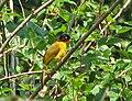 Pycnonotus gularis (Karnataka).jpg