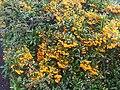 Pyracantha coccinea - wetland 2.jpg