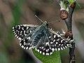 Pyrgus malvae - Grizzled skipper - Толстоголовка малая мальвовая (41002147561).jpg